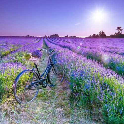 Bicycle with flowers in a Lavender field