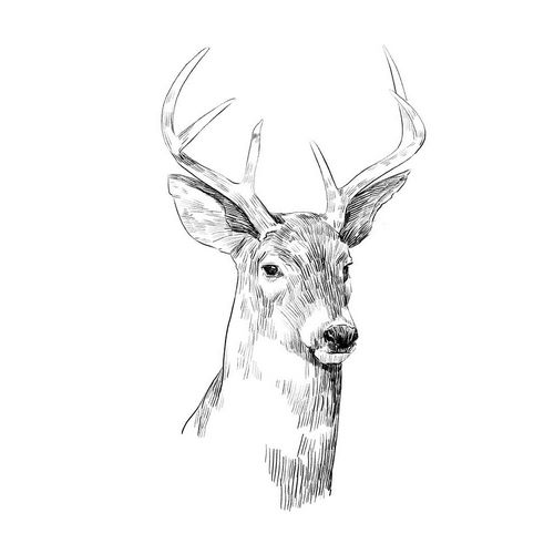 Young Buck Sketch I